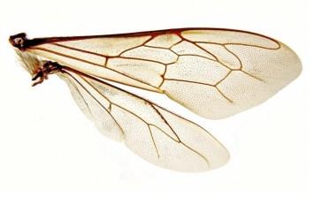 B0007636 Honey bee wing