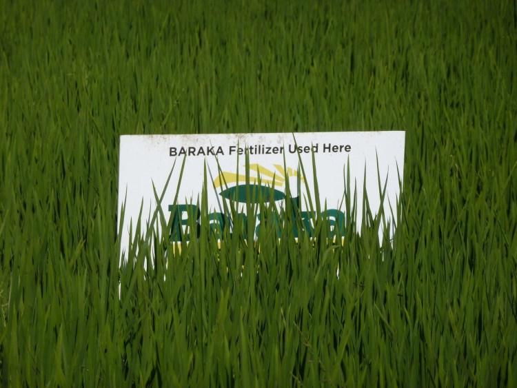 Kenya Kisumu rice P1270769.JPG