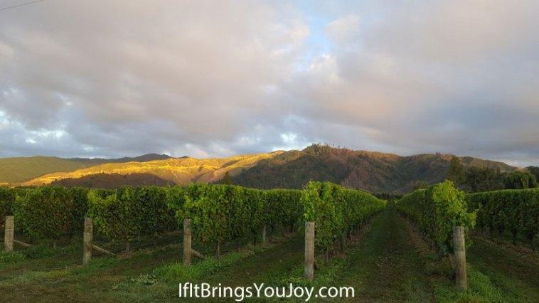 Blenheim, New Zealand vineyard
