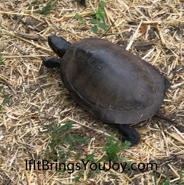 A turtle on the move, adding to the joys given to us by Mother Nature.