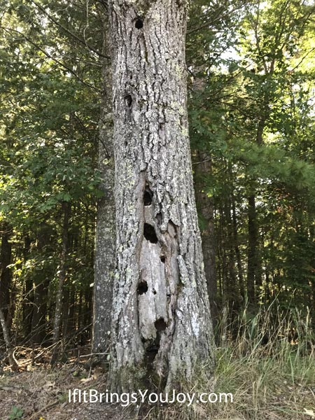 A worn tree with holes going all the way up its trunk.
