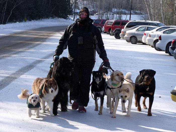 Dog walker walking 7 dogs.