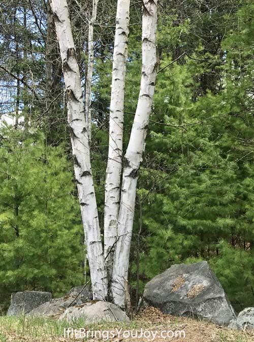 Birch trees by rock