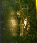 Yunnanilus cruciatus