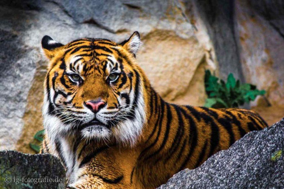 eye-of-the-tiger-tierfotografie