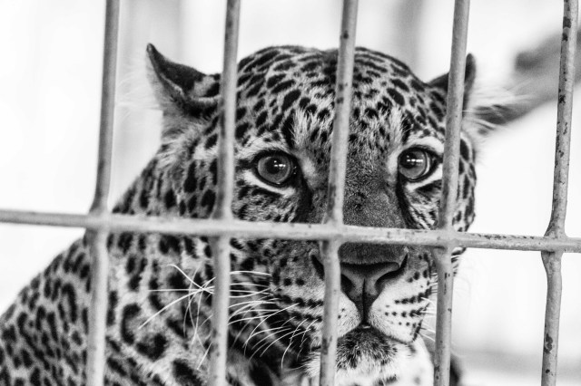 leopard in zoo - scared eyes