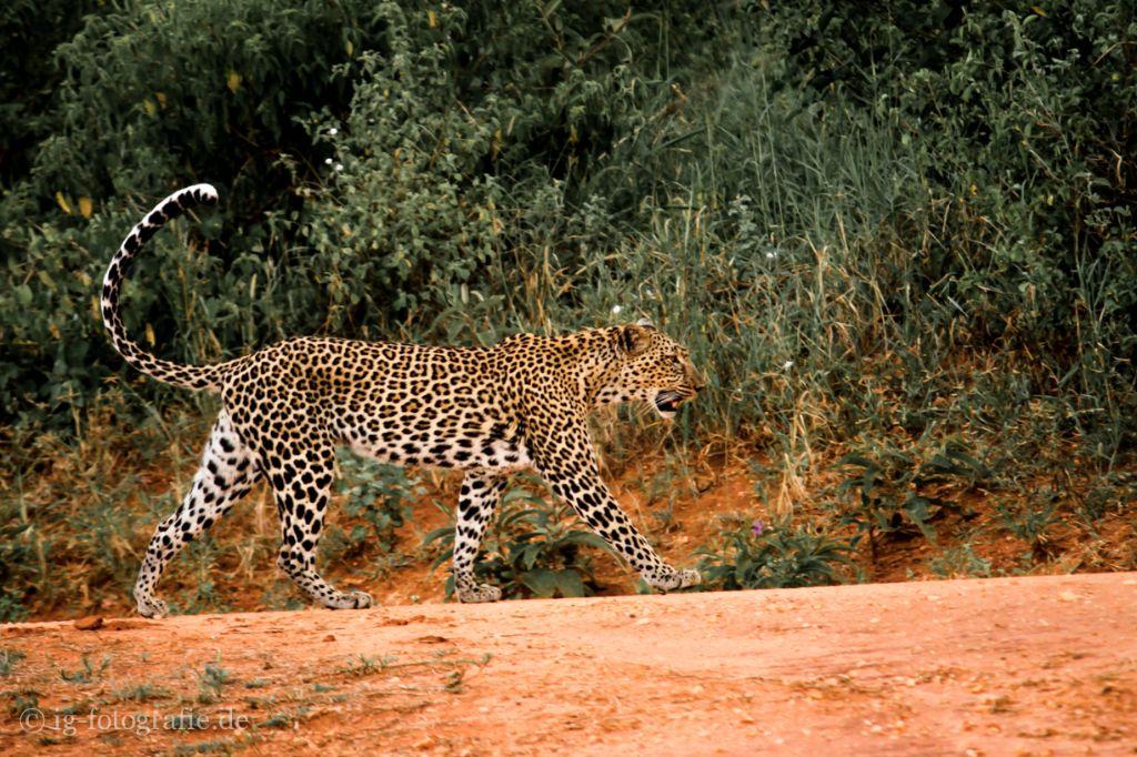 Fotosafari - Kenia - Afrika: Leopard