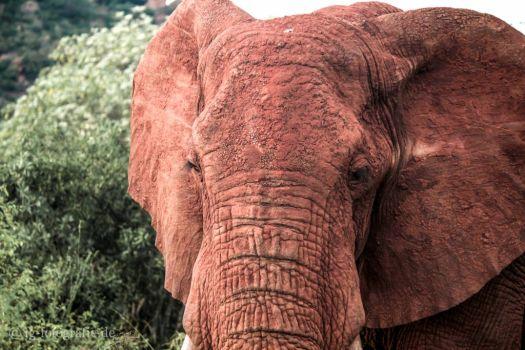 Fotosafari in Kenia - Afrika: Fotosafari - Kenia - Afrika: Red Elephant