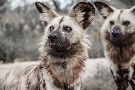 Wildlife-Volunteering-Namibia- Afrikanischer Wildhund