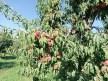 Iğdır şeftalisi sofralar için hasat edilmeye başlandı