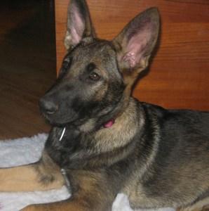 IGD Puppy Gracey
