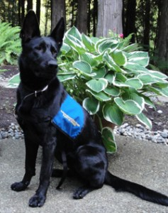 A picture of guide dog pup Ammi.