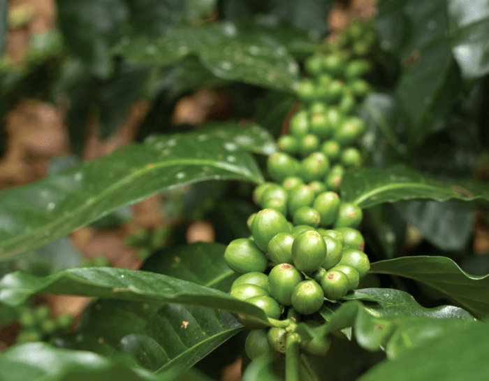 Coffee crop growing in Colombia belongs to an association member affiliated with Comparte. (Photo: ASOPECAM / Instituto Mayor Campesino)