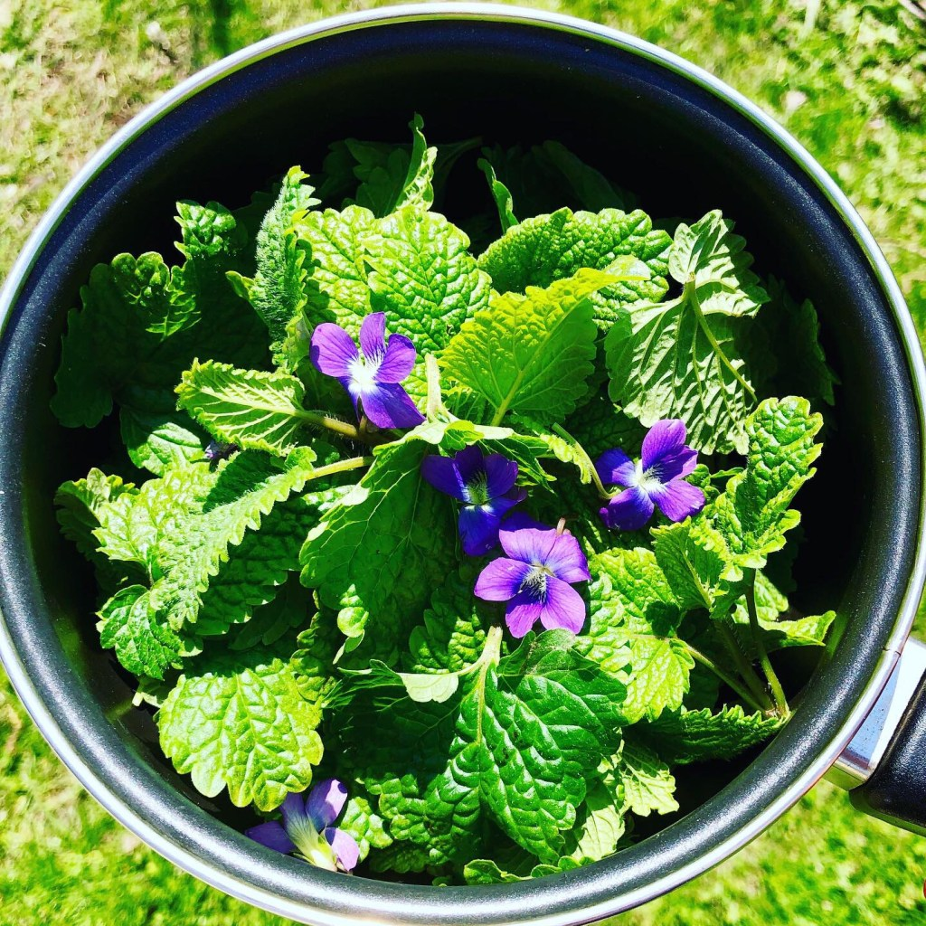 Foraging for violet and lemon balm tea, 5/19