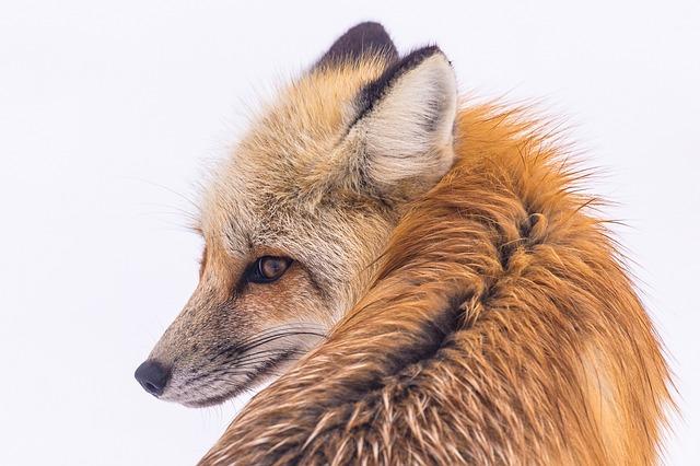 red-fox-2230730_640