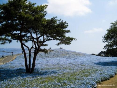 Collina di Nemophila blu al parco stagionale Hitachi, nella prefettura di Ibaraki