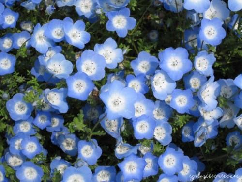 Nemophila blu al parco stagionale Hitachi, nella prefettura di Ibaraki