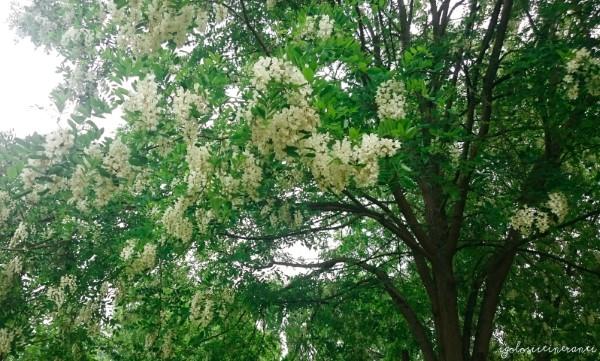 Albero di acacia in fiore