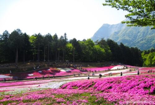 Gita in giornata da Tokyo: gli shibazakura del Parco Hitsujiyama