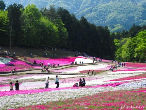 Shibazakura festival al parco Hitsujiyama, Seibu Chichibu (Giappone