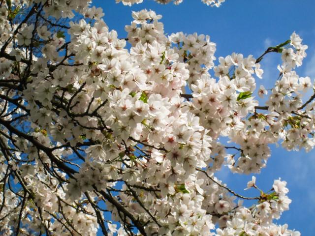 L'importanza della primavera in Giappone