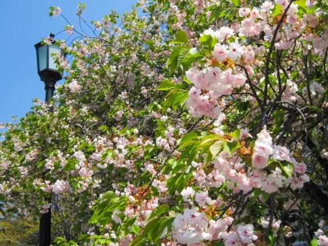 Sakura in fiore in Giappone
