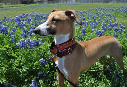 lucca in the bluebonnets (3)