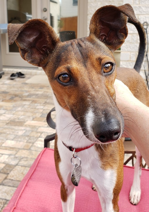 Available Dogs Italian Greyhound Rescue For Texas And