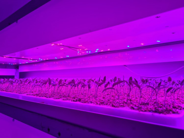 Innovate UK Urban Farm Tomato Plants growing in a Vertical Farm