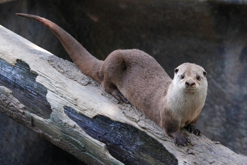 Otter in New Exhibit