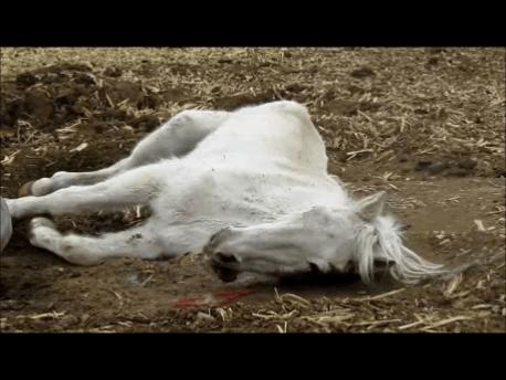 Grey mare biting tongue