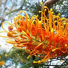 Grevillea bloom by JulianneB