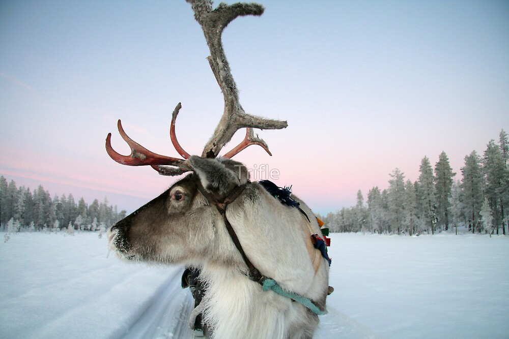 Lapland Reindeer By Trifle Redbubble