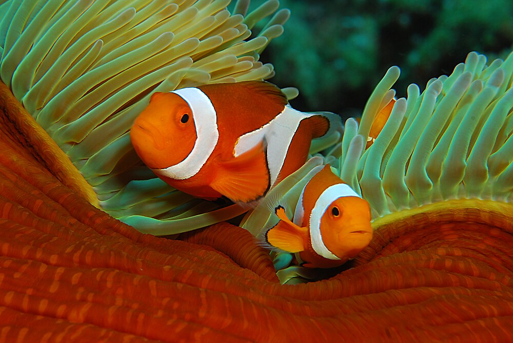 False Anemone Clownfish By James Van Den Broek Redbubble