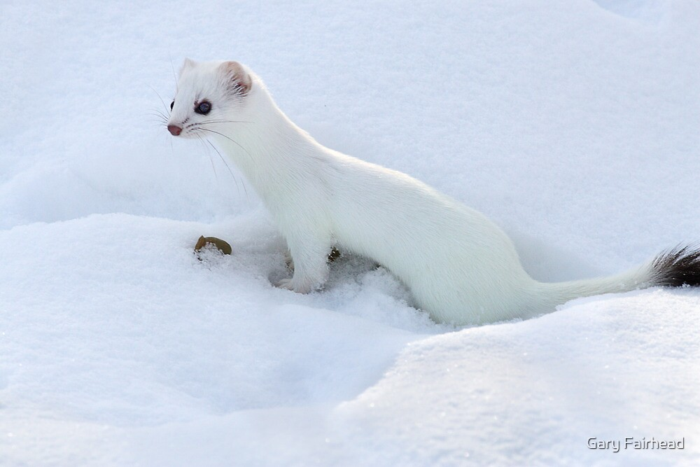 Ermine Short Tailed Weasel By Gary Fairhead Redbubble