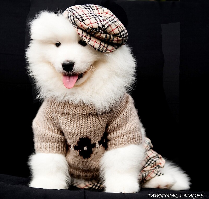 Samoyed Puppy By Tawnydal Redbubble