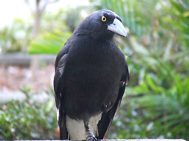 Currawongs
