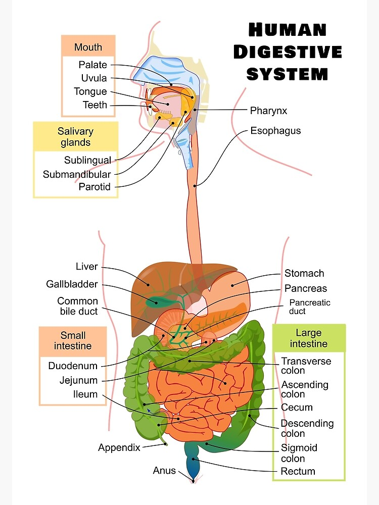 """""""Diagram of the Human Digestive System"""" Poster by ..."""