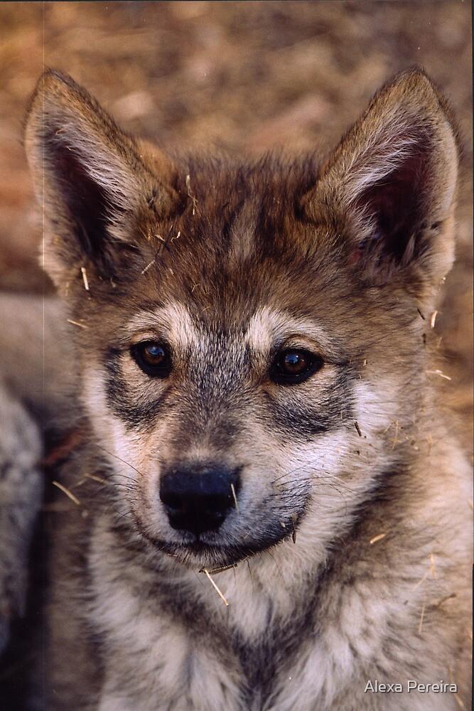 Alaskan Timber Wolf Cub By Alexa Pereira Redbubble