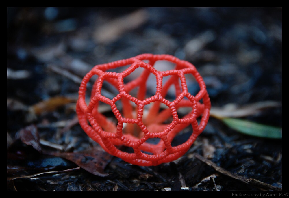 Red Cage Fungus By Carol Knudsen Redbubble