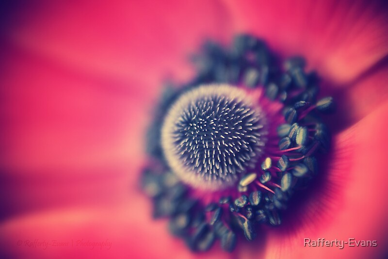 Poppy Macro by © Rafferty-Evans