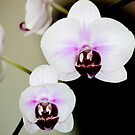 Orchids inside the office by Louis Delos Angeles