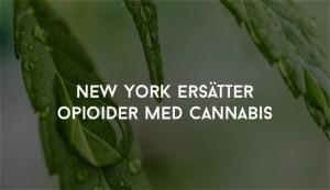 New York ersätter opioider med cannabis