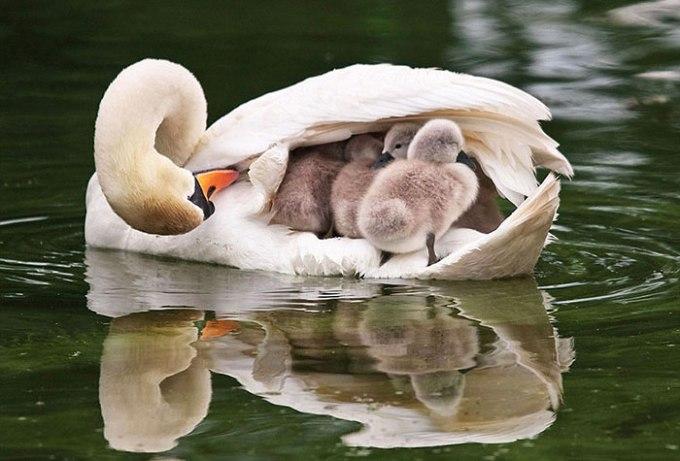 animal-parents