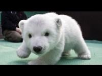 Милый и неуклюжий полярный медвежонок