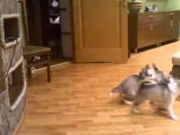 Веселая мама-хаски развлекает своих щенков