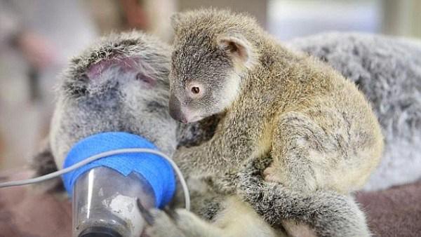 детеныш коалы поддержал маму на оперерации