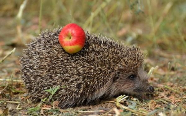 ежик и яблоко на иголках