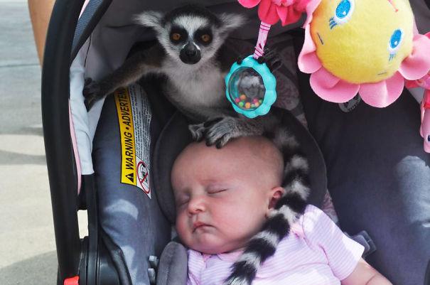 kogda-lemury-v-zooparke-prihodyat-znakomitsya-s-detmi
