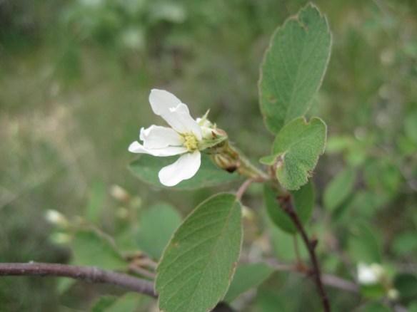 Amelanchier_alnifolia3